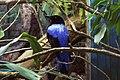 Fairy bluebird.jpg