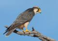 Falco biarmicus02.png