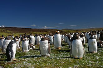 Andes to Amazon - A colony of gentoo penguins in the Falkland Islands