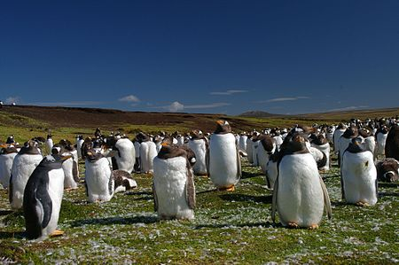 Falkland Islands Penguins 44.jpg
