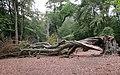 Fallen Beech - geograph.org.uk - 2500904.jpg