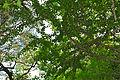 False Turkeyberry (Canthium armatum) (16461614711).jpg