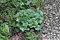 Farfugium japonicum var. formosanum 03.jpg