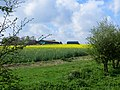 Farm buildings in a yellow field - April 2014 - panoramio.jpg
