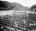Farmers of forty centuries - Japanese women picking leaves of the tea plant.jpg
