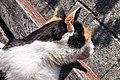 Felis silvestris catus - Rapperswil Duftrosengarten 2011-10-23 15-24-46.jpg