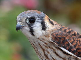 Female American Kestrel.jpg