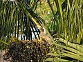 Female Indian Grey Hornbill Eating Palm Fruits 04.jpg