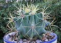 Ferocactus-glauscescens.jpg