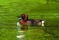 Ferruginous Duck Aythya nyroca, India, by Raju Kasambe.jpg
