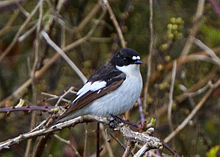 Ficedula hypoleuca Sussex 1.jpg