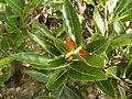 Ficus ingens, blare, Groenkloof NR.jpg