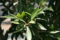 Ficus neriifolia 12zz.jpg