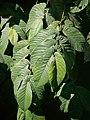 Ficus semicordata P1150111 01.jpg