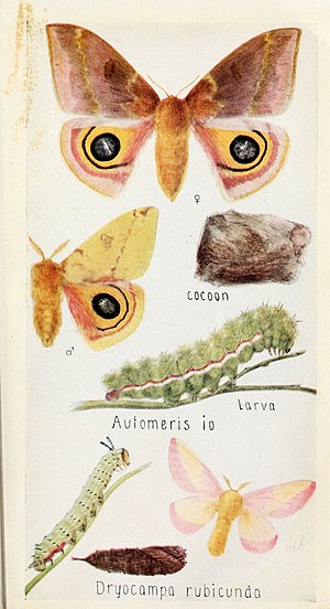 Dryocampa rubicunda - Life cycle of a rosy maple moth