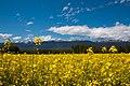 Fields of Yellow - panoramio.jpg