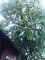 Figentræ i Gudhjem.jpg