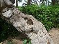 Figuera del parc de les Aigües P1500827.jpg
