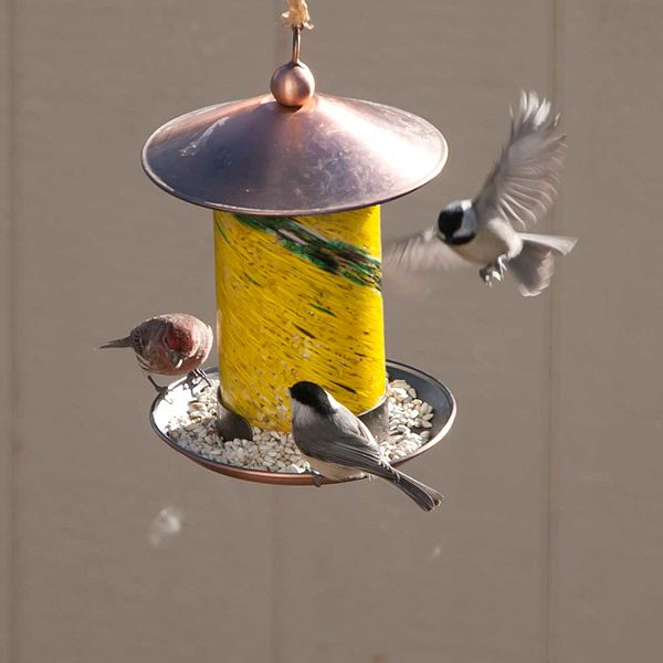 File:Finch and chickadees (8326500518).jpg
