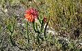 Fire Heath (Erica cerinthoides) (32456195388).jpg