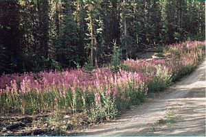 Geography of Yukon - Fireweed (Epilobium angustifolium), Yukon's territorial flower and white spruce (Picea glauca) in southern Yukon near the South Klondike Highway.