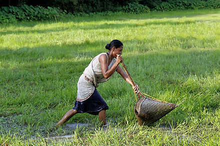 Indigenous Kaibarta woman with traditional fish catching device made from bamboo in Assam Fishing Woman.jpg