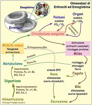 FisiologiaEmoglobina