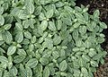 Fittonia verschaffeltii var. argyroneura 'Nana' kz01.jpg