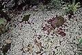 Fittonia verschaffeltii var. argyroneura 2zz.jpg