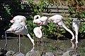 Flamant rose (Zoo-Amiens).JPG