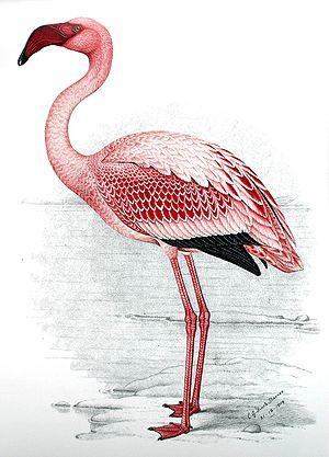 C. G. Finch-Davies - Lesser flamingo (Phoenicopterus minor)