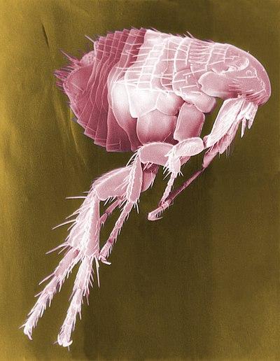 Flea Scanning Electron Micrograph False Color.jpg