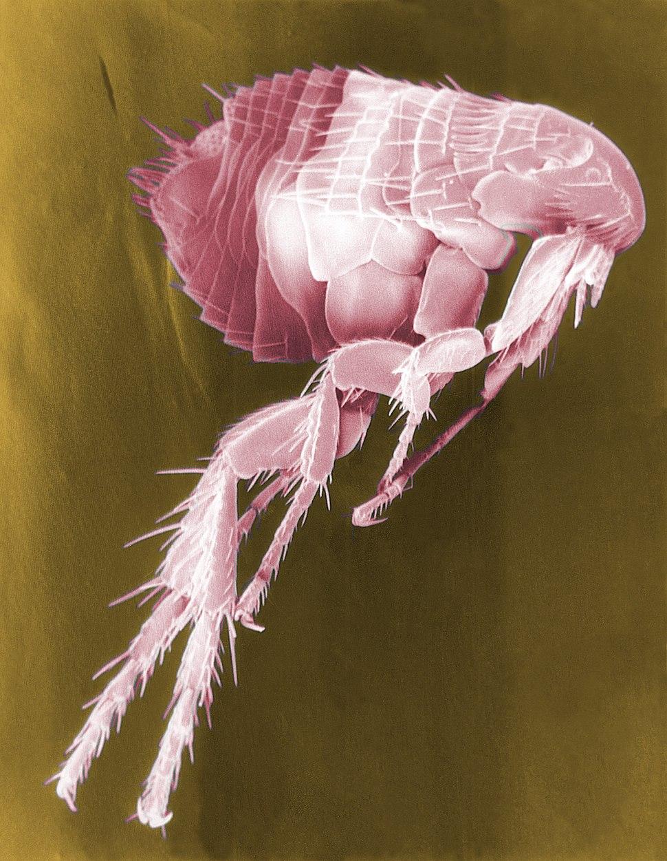 Flea Scanning Electron Micrograph False Color
