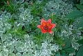 Fleur - Parc vieux Limoilou.jpg