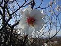 Fleur d'Amandier.jpg
