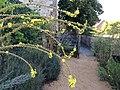 Fleur de bouillon blanc (Verbascum thapsus).jpg