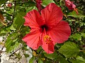 Fleur de calpe - panoramio (1).jpg