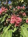 Fleurs de marronniers d'Inde roses.jpg