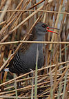 Flickr - Rainbirder - Water Rail(Rallus aquaticus).jpg
