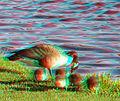 Flickr - jimf0390 - JimF 05-13-10-0027a 5 baby geese.jpg