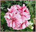 Flickr - ronsaunders47 - RON'S EXCELLENT BLOOMS 2..jpg