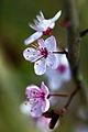 Flor da cerdeira. Cherry Flower. Prunus cerasus.jpg