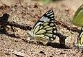 Flora and fauna of Chinnar WLS Kerala India (34).jpg