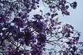 Flores de Jacaranda.JPG