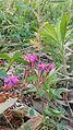 Flower Beauty of Skardu Baltistan.jpg