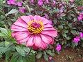 Flower Siniyas.jpg