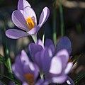 Flowers Sweden March 2015 04.jpg