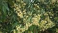 Flowers for longan.jpg