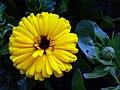 Flowers of Iran گلهای ایران 10.jpg