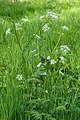 Fluitenkruid (Anthriscus sylvestris) 26-04-2020. (actm.) 01.jpg